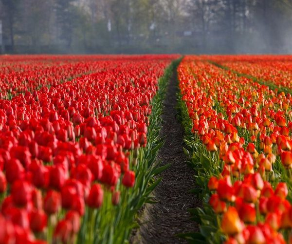 Pella Tulip Festival - May 5th, 2018 - $120pp